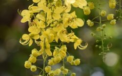 Keralites Celebrating Vishu with Golden Shower