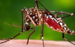 Dengue Mosquito: 4 Things You Must Know About Aedes Mosquitoes