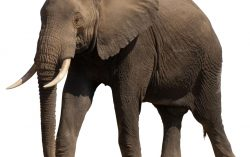 Maybe an elephant