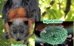 Nipah Virus: All you need to know